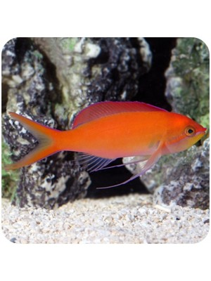 Anthia Dispar (Pseudanthias dispar)