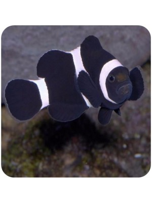 Ocellaris Black (Amphiprion ocellaris black)