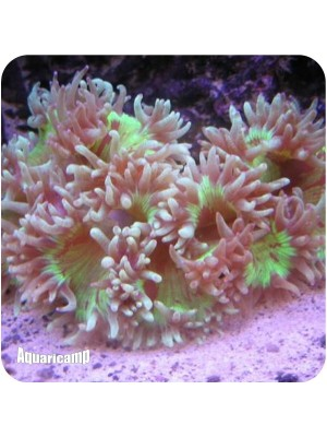 Elegance Coral (Catalaphyllia jardinei)