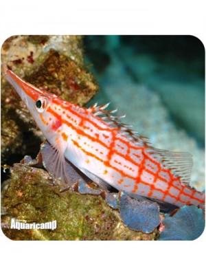 Hawkfish Longnose (Oxycirrhites typus)