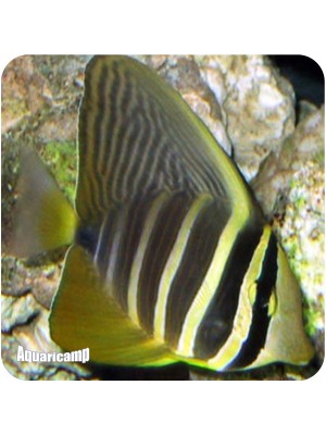 sailfing tang copia