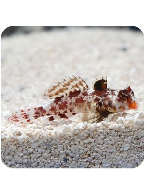 Red Scooter Blenny (Synchiropus Stellatus)