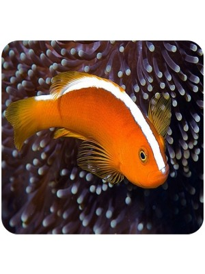 Palhaço Skunk Orange (Amphiprion perideraion)