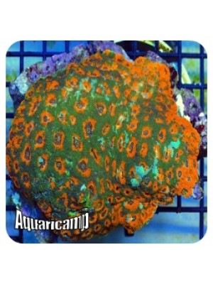Acanthastrea Brain Green Orange (Acanthastrea echinata)
