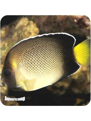 Angel Cream Yellow (Apolemichthys xanthurus)