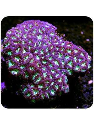 Blastomussa Coral (Blastomussa Merletti)