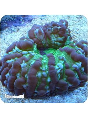Cynarina Green(Cynarina lacrymalis)