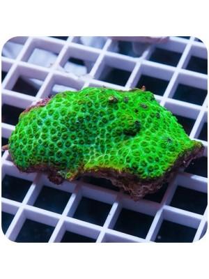 Cyphastrea green (Cyphastrea sp.)