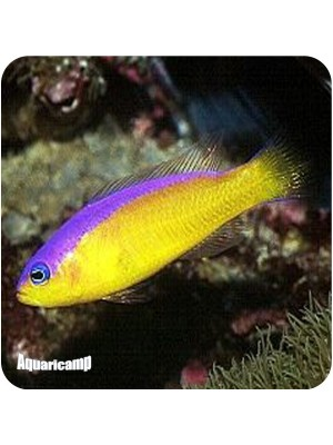 Pseudocromis Diadema (Pseudochromis Diadema)