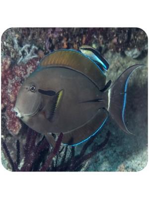 Epaulette Surgeonfish (Acanthurus nigricauda)