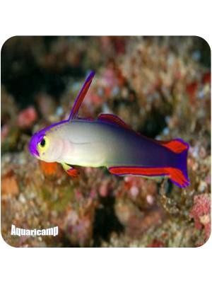 Fire Fish Flame (Nemateleotris Decora)