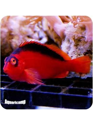 Flame Hawkfish (Neocirrhitus armatus)