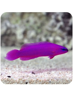 Pseudochromis Fridmany Purple