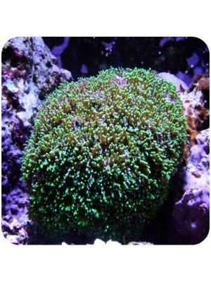 Green Galáxea Coral Green (Galaxea astreata)