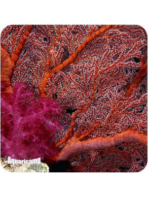 Gorgonia (Acalycigorgia sp.)