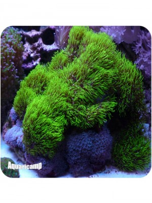 Green Star Polyps (Briareum sp.)