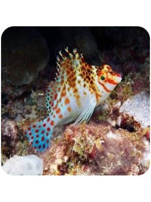 Coral Hawkfish (Cirrhitichthys oxycephalus)