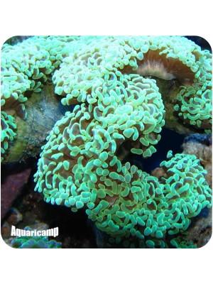 Hammer Green Coral Wall ( Euphyllia ancora )