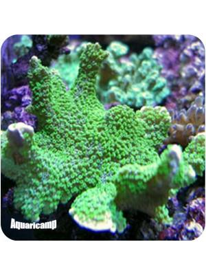 Hydnophora Green (Hydnophora sp.)