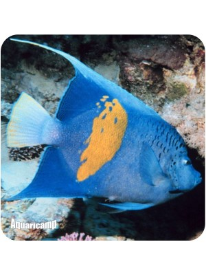 Maculosos Angel Fish