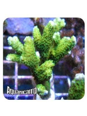 Montipora Green (Montipora digitata)
