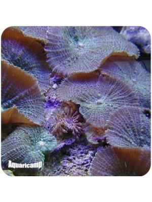Mushroom Brown (Actinodiscus sp.)