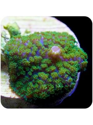 Mushroom Neon Green Rhodactis