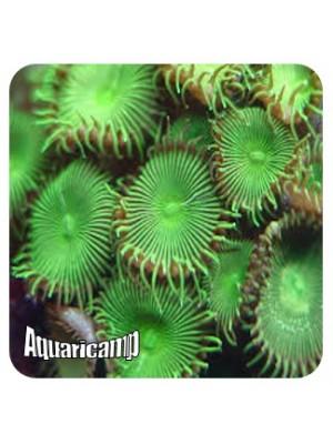 Palythoa Green (Protopalythoa sp.)