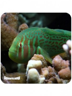 Green and Pink Coralgoby
