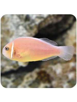 Clown Pink Skunk (Amphiprion Perideraion)