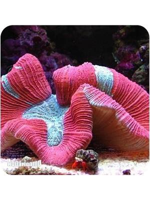 Open Brain Coral Red (Trachyphyllia geoffroyi) PQ