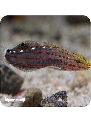 s Goby