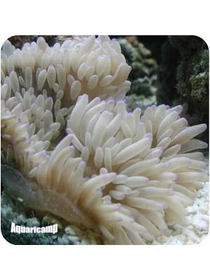 Anemona Sebae (Heteractis crispa)