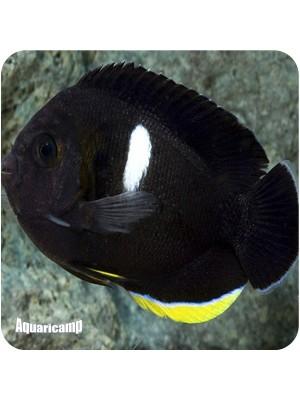 Tibicen Angelfish (Centropyge tibicin)