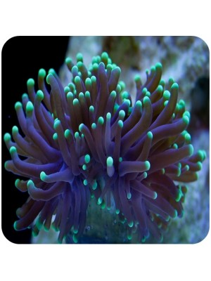 Torch Coral Green (Euphyllia glabrescens)