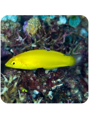 Wrasse Yellow Coris ( Halichoeres chrysus )