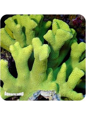 Porites Yellow (Porites spp.)
